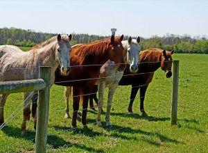 Horses standing along fenceline